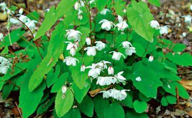 Dâm dương hoắc – viagra thiên nhiên, tăng cường sinh lý phái mạnh