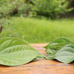 Hướng dẫn xông lá trầu không chữa bệnh phụ khoa an toàn và hiệu quả
